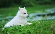 Шикарные щенки хаски - мощный костяк,  шикарная шуба.