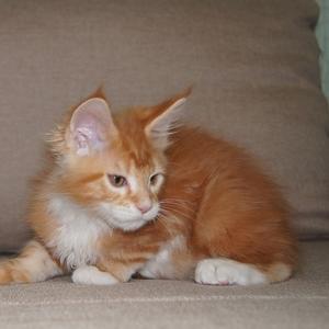 котята Мейн куны,  есть редкие окрасы
