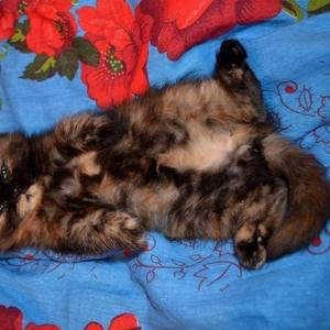Экзотические персидские котята