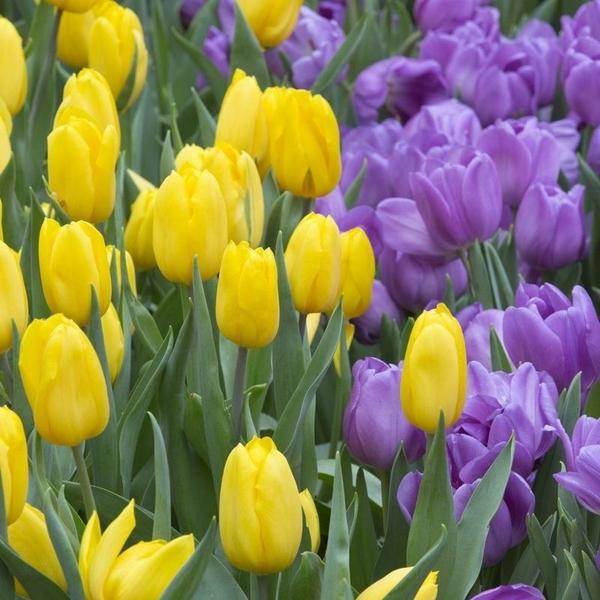 Тюльпаны на День влюбленных 2