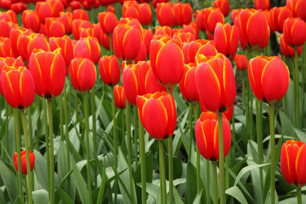 Тюльпаны на День влюбленных 3