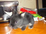 Декоративные крольчата. Порода -