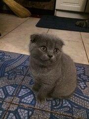 продам шотландского короткошерстного котёнка
