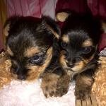 Продаются очаровательные щенки йоркширского терьера