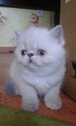 Экзоты (плюшевые)  котята